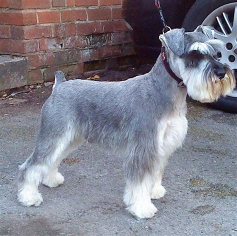 image gallery schnauzer haircuts pin miniature schnauzer haircut and trim go on pinterest