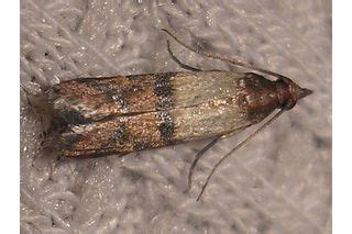 What Attracts Pantry Moths by 17 Best Ideas About Pantry Moths On Clean