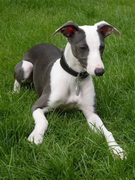 whippet for sale whippet for sale kidwelly carmarthenshire pets4homes
