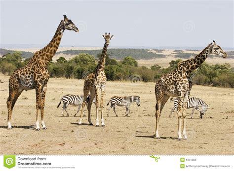 imagenes de jirafas y zebras jirafas y cebras