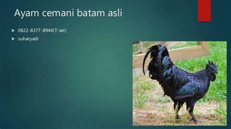 Jual Bibit Ayam Cemani Asli 0822 8377 8944 t sel jual ayam cemani asli batam