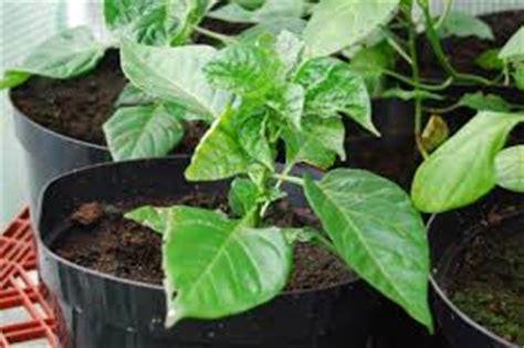 Pupuk Bunga Cabai cara menanam cabai rawit dalam pot polybag tanaman bunga