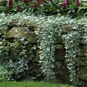 Silver Foliage Plants Australia - dichondra repens silver falls 10 seeds cascade 3 ft baskets windowboxes ebay