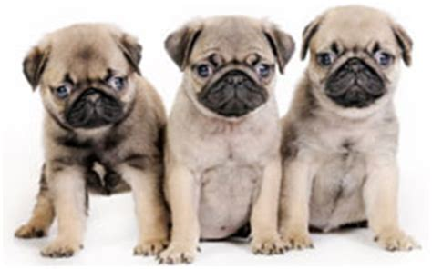 heavenly pugs of pug puppies at heavenly puppies including bulldogs bull pugs and more