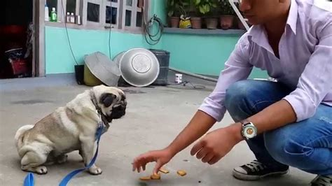 how to your pug puppy complete pug pug