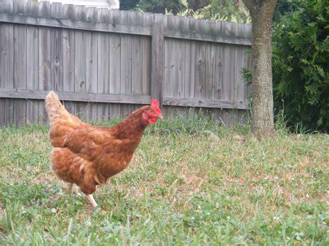 Backyard Chickens by True Companion Pet Care Backyard Chicken Sitter