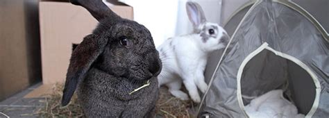 Health And Welfare Background Check Rabbit Health And Welfare Rspca