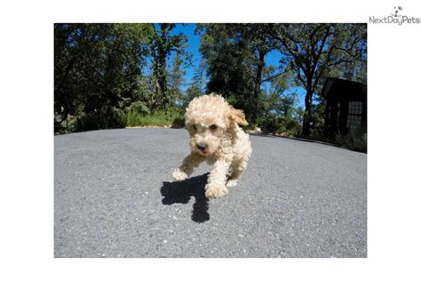 goldendoodle puppies bay area peanut goldendoodle puppy for sale near san francisco bay area california 5f54c217