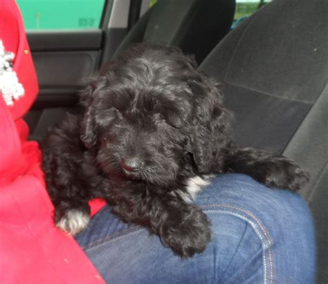 cocker poodle puppies beautiful stunning cocker poodle puppy for sale chorley lancashire pets4homes