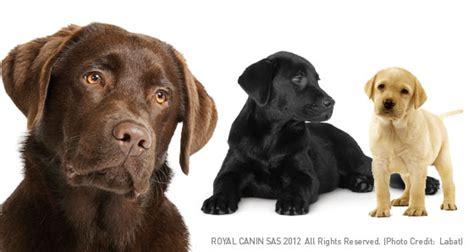colorado lab puppies labrador retriever or lab breed profile petplanet co uk