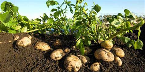 Wie Pflanze Ich Kartoffeln 4632 by Curzate 174 M Wg Fungizid Dupont Deutschland