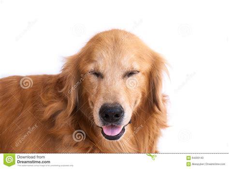 golden retriever smile smile golden retriever isolated stock photo image 64200143
