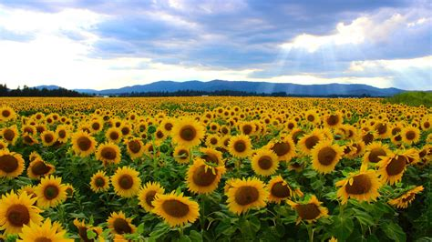 sunflower field incredible image of an amazing sunflower field in the