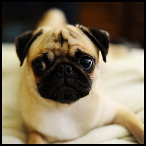 real pug pin really pug puppies image search results on