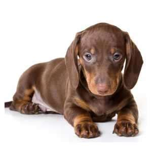 dachshund puppies for sale dachshund puppies for sale by top breeders pets4you