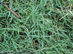types of bermuda sod pictures to pin on pinterest pinsdaddy