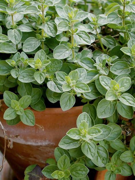 growing oregano bonnie plants