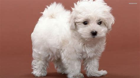 dogs and breeds beautiful breed bichon frise on a brown background wallpapers and images