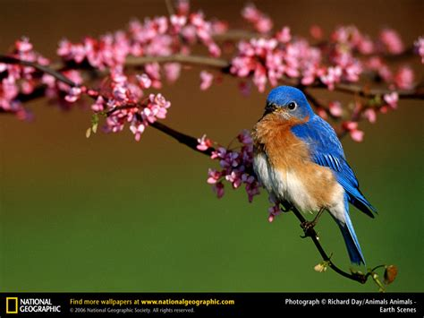 national geographic backyard birds bluebird picture bluebird desktop wallpaper free
