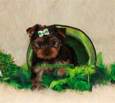 buy tiny teacup yorkie teacup yorkie teacup yorkie for sale tinypuppy tiny puppy breeds picture