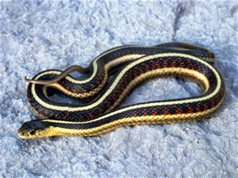 Garter Snake Vs Copperhead Garter Snake Vs Copperhead 28 Images Garter Or Ribbon