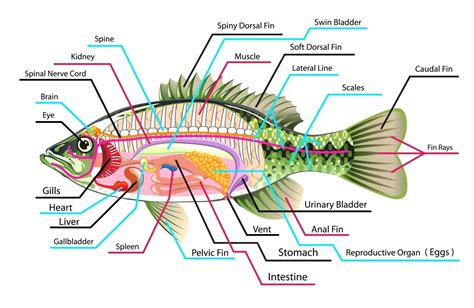 a diagram of a fish diagram snake anatomy diagram