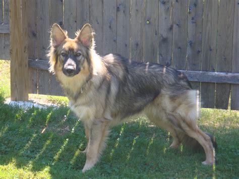 german shepherd puppy image breeds picture