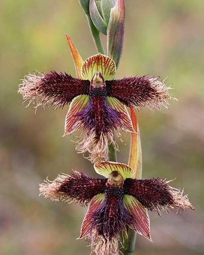 Tas Rabbit Flower 332 best orchid mimicry images on