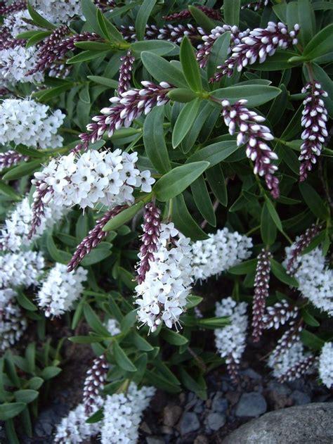 partial sun flowering shrubs 17 best images about plantaginaceae on carpets