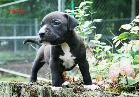 pitbull puppies for sale in tn nkc reg pitbull puppies in knoxville tn for sale adoption from tennessee adpost