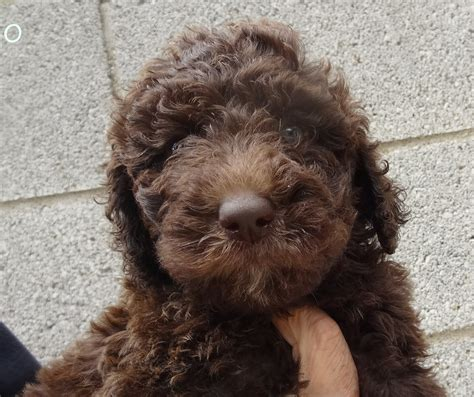 chocolate goldendoodle puppies for sale brown goldendoodle puppies www imgkid the image kid has it