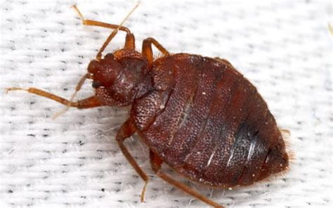 what other bugs look like bed bugs what other bugs look like bed bugs 28 images how the