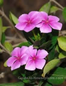 Small Plants That Don T Need Sun by Madagascar Periwinkle Flower Catharanthus Roseus
