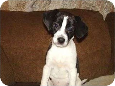 beagle terrier mix puppy raggle rat terrier x beagle mix info temperament pictures