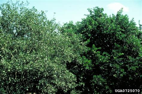 citrus blight disease on orange citrus x sinensis