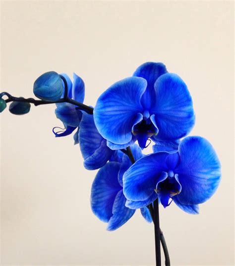 blue orchid blue orchid lovely colour blue jacqui dean flickr