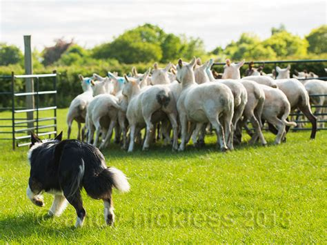 sheep herding dogs border collie dvd breeds picture