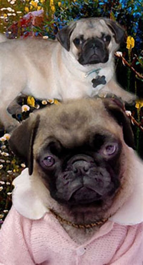 how much is a pug puppy worth pug history pug appearance noise pug temperament health