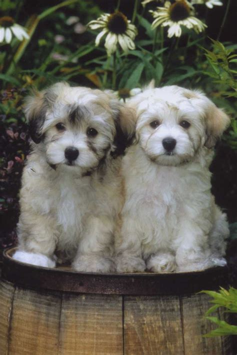 havanese characteristics havanese the cutest widdle guys says no but