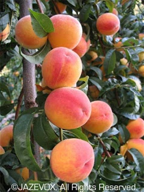 keeping fruit trees small 17 best images about trees from seed on
