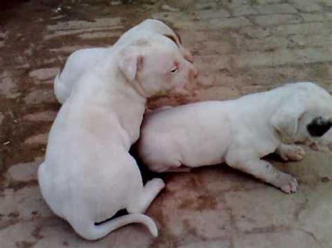 bully kutta puppies bully kutta info temperament puppies pictures