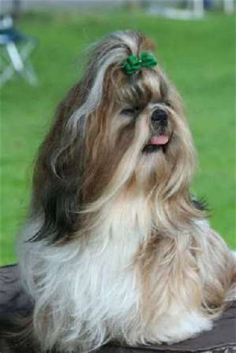 grown shih tzu weight shih tzu breed information history health pictures and more