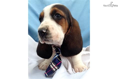 basset hound puppies near me basset hound puppy for sale near lancaster pennsylvania 88df5c9c 0e11