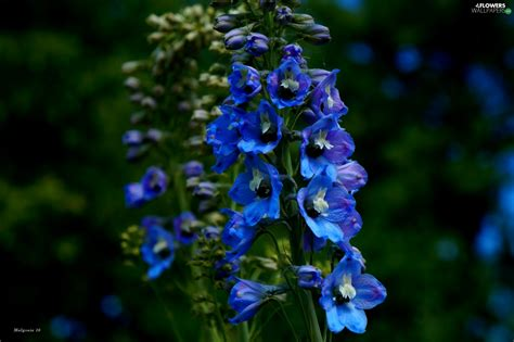 Flowers Garden Blue Larkspur Flowers Wallpapers Blue Garden Flower