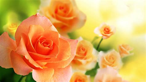 Orange Rose Wallpapers ? Beautiful Orange Flowers Pictures