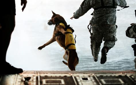 navy seal dogs navy seal breed sense breeds puppies characteristics of navy seal breed