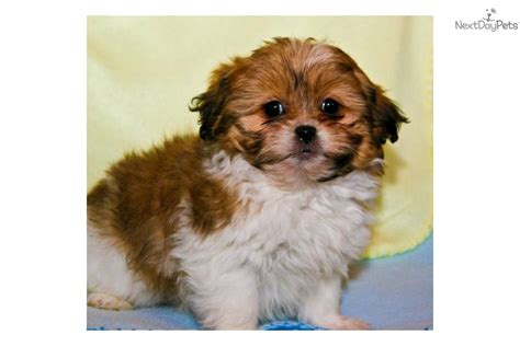 teacup shih tzu puppies for sale in houston teacup shih tzu puppies available for adoption breeds picture