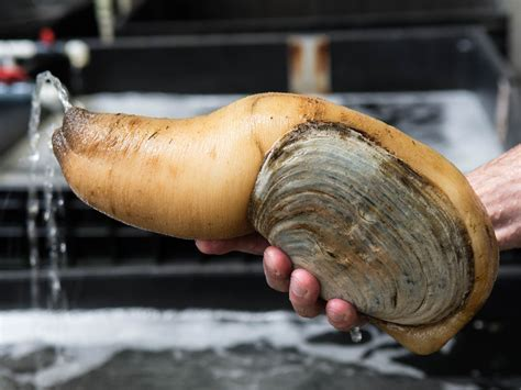 geoduck images all about geoduck the of a delicious oversized