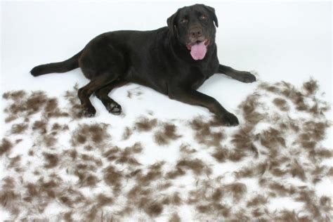 Labrador Retriever Shedding by Dealing With Moulting And Hair Shedding Dogbuddy