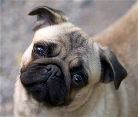 what are pug dogs like protecting the fragile of nosed dogs like pekingese or pugs